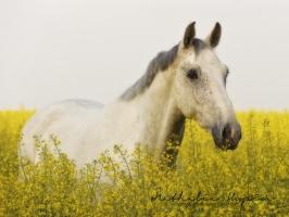 nhupin-chevaux--57