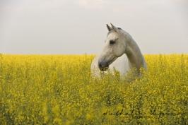 nhupin-chevaux--58