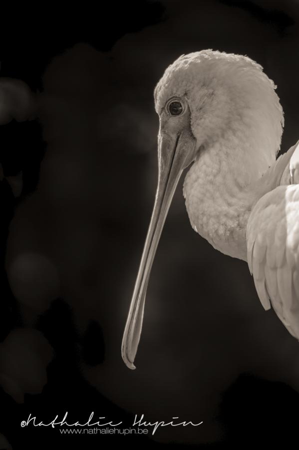 spatule oiseau